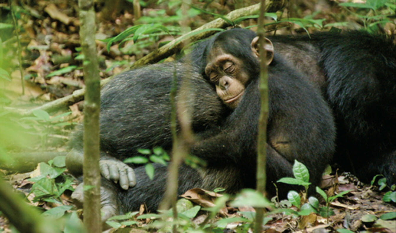 Blog chimpansee