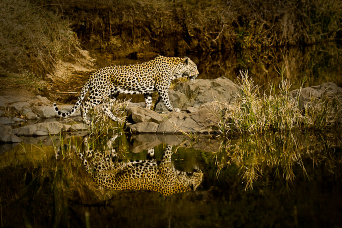 Leopard Londolozi