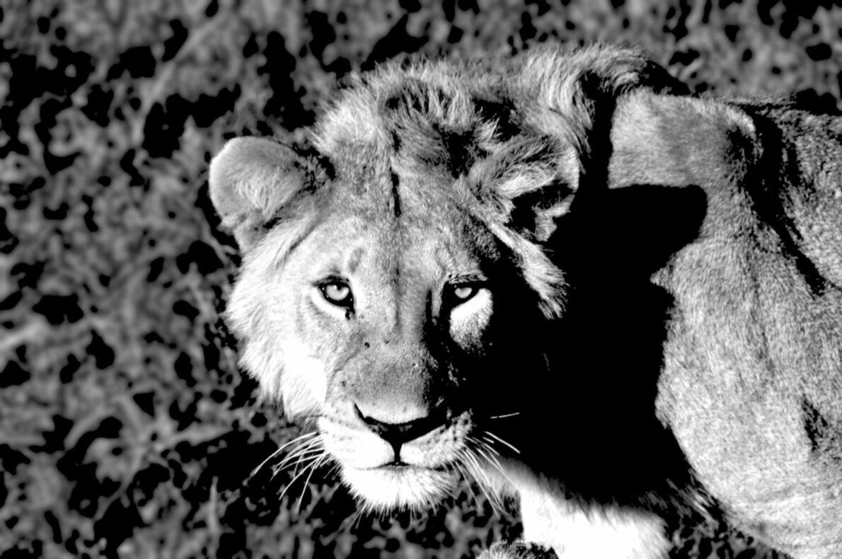 Blog De noordelijke parken van Tanzania leeuw