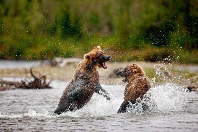 Alaska reizen, wildlife, bears