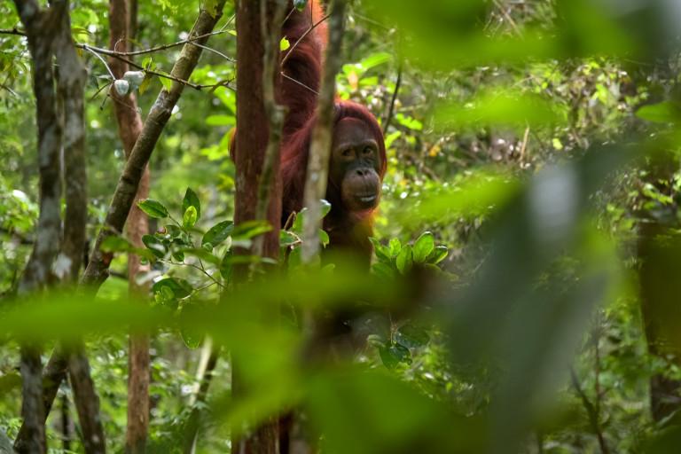 Indonesie reizen,Kalimantan,oerang-oetan