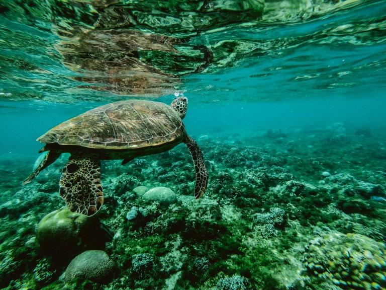 Schildpad, Anguilla reizen. Caribbean