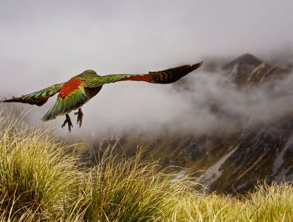 New Zealand parrot Kea is flying above the clouds at the Kepler Track.