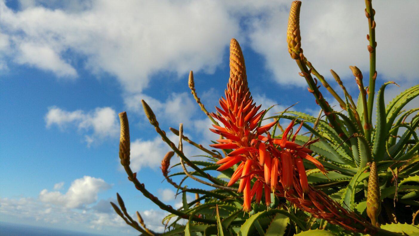 Aloe bloem, Madeira, Portugal